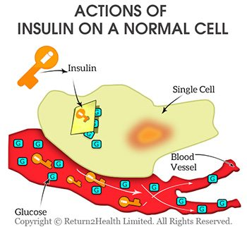 Actions of Insulin on a Normal Cell